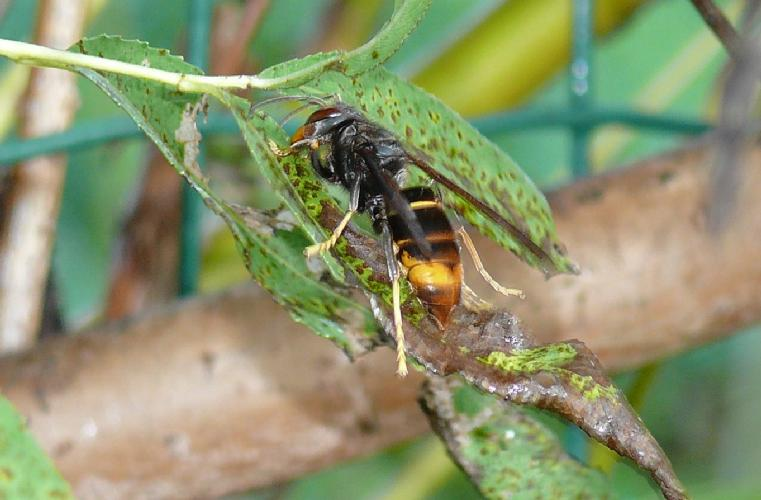 Frelons asiatiques - Repulsif frelon asiatique ...